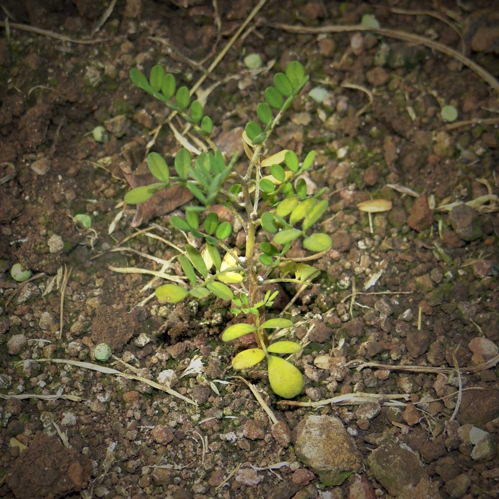 10. plantita