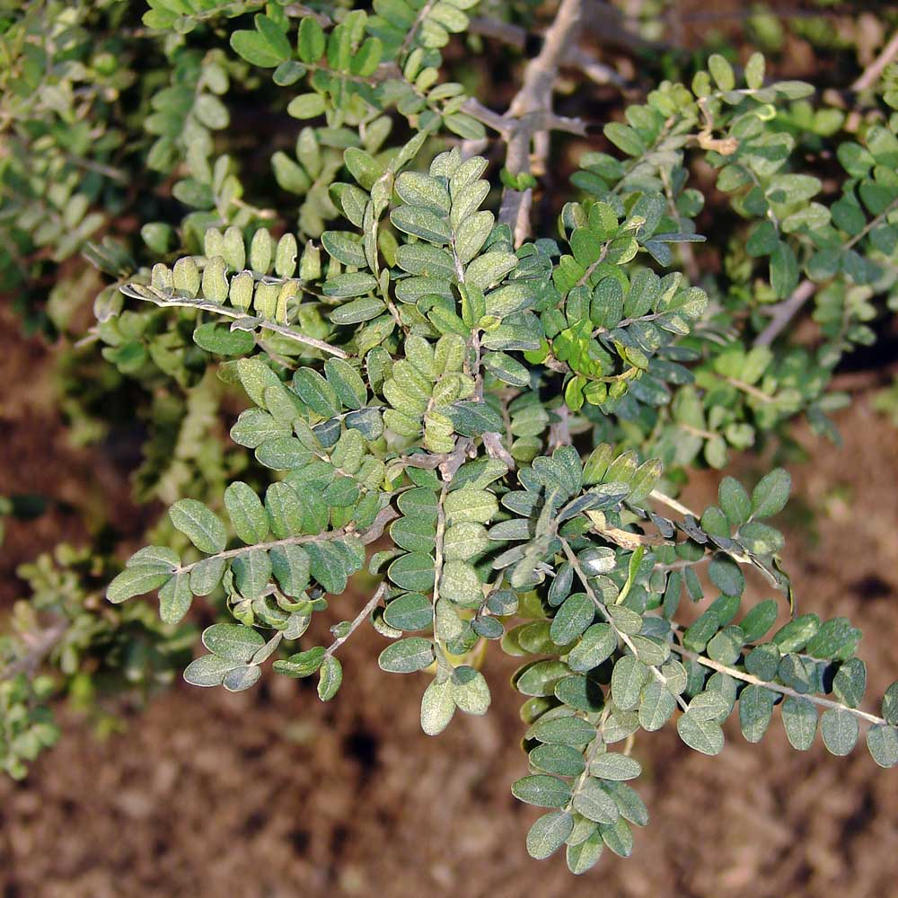 3. Ramilla con hojas